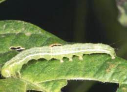 DGSA registró un nuevo controlador biológico de plagas para soja y girasol que permitirá reducir el uso de agroquímicos
