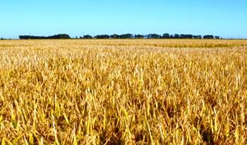 Récord histórico de rendimiento y producción de maíz en Uruguay