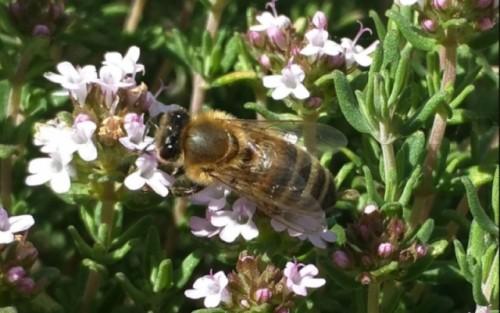 Una enfermedad viral también afecta a las abejas