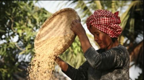 La industria del arroz, golpeada por la COVID-19 y el cambio climático