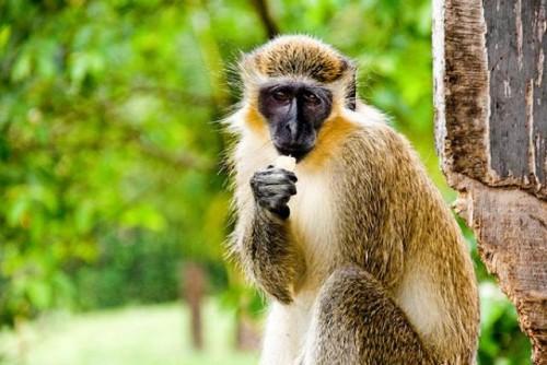 El Caribe lucha contra unos traviesos invasores: los monos