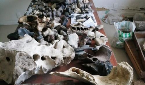 Decenas de piezas fósiles de animales de nuestra era del hielo fueron halladas en Florida